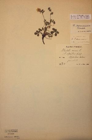 (Potentilla subarenaria - H077938)  @11 [ ] Unspecified (default): All Rights Reserved  Unspecified Unspecified