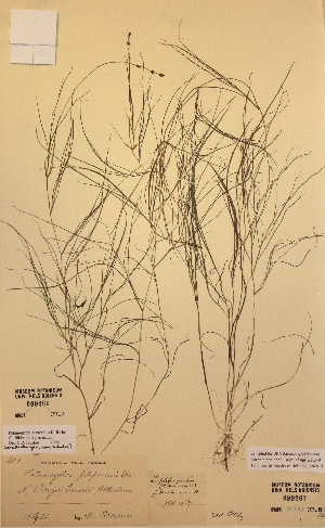(Potamogeton alpinus x natans - H099267)  @11 [ ] Unspecified (default): All Rights Reserved  Unspecified Unspecified