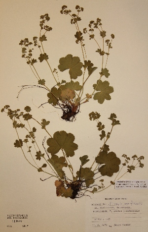 (Alchemilla filicaulis var. filicaulis - H113804)  @11 [ ] Unspecified (default): All Rights Reserved  Unspecified Unspecified