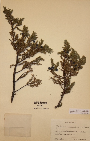 (Juniperus communis subsp. alpina - H123483)  @11 [ ] Unspecified (default): All Rights Reserved  Unspecified Unspecified