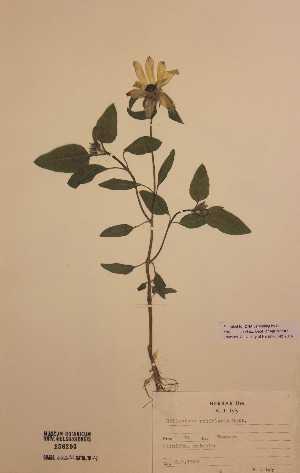 (Helianthus petiolaris - H156293)  @11 [ ] Unspecified (default): All Rights Reserved  Unspecified Unspecified