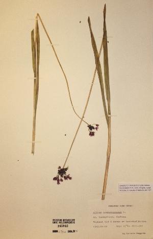 (Allium scorodoprasum - H165045)  @11 [ ] Unspecified (default): All Rights Reserved  Unspecified Unspecified