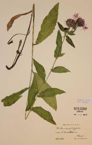 (Centaurea phrygia - H206698)  @11 [ ] Unspecified (default): All Rights Reserved  Unspecified Unspecified