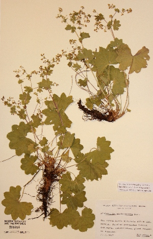 (Alchemilla murbeckiana - H211016)  @11 [ ] Unspecified (default): All Rights Reserved  Unspecified Unspecified
