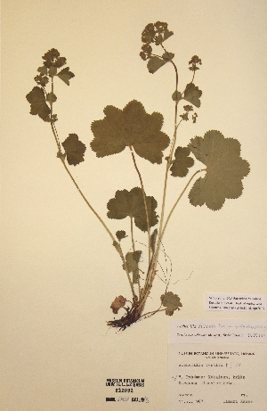 (Alchemilla filicaulis var. vestita - H222092)  @11 [ ] Unspecified (default): All Rights Reserved  Unspecified Unspecified