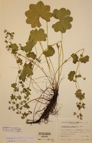 (Alchemilla filicaulis var. filicaulis - H325029)  @11 [ ] Unspecified (default): All Rights Reserved  Unspecified Unspecified