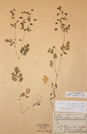 (Potentilla supina ssp paradoxa - H374359)  @11 [ ] Unspecified (default): All Rights Reserved  Unspecified Unspecified