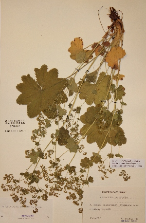(Alchemilla - H378088)  @11 [ ] Unspecified (default): All Rights Reserved  Unspecified Unspecified