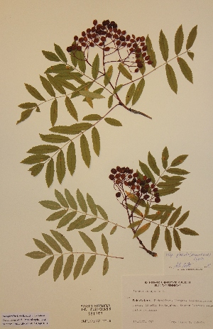 (Sorbus aucuparia subs. glabrata - H381373)  @11 [ ] Unspecified (default): All Rights Reserved  Unspecified Unspecified