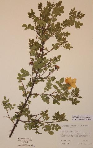 (Rosa pimpinellifolia - H387351)  @11 [ ] Unspecified (default): All Rights Reserved  Unspecified Unspecified