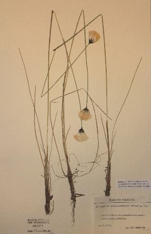 (Eriophorum brachyantherum - H403371)  @11 [ ] Unspecified (default): All Rights Reserved  Unspecified Unspecified