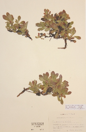 (Arctostaphylos alpina - H415699)  @11 [ ] Unspecified (default): All Rights Reserved  Unspecified Unspecified