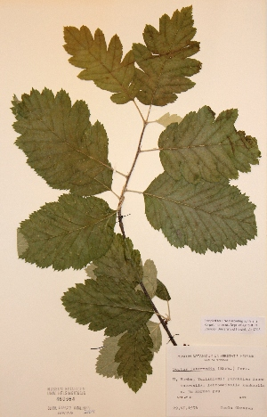 (Sorbus intermedia - H460964)  @11 [ ] Unspecified (default): All Rights Reserved  Unspecified Unspecified