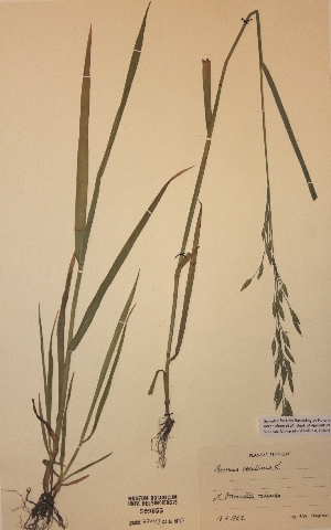 (Bromus secalinus - H509955)  @11 [ ] Unspecified (default): All Rights Reserved  Unspecified Unspecified