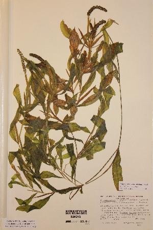 (Potamogeton gramineus x lucens - H530564)  @11 [ ] Unspecified (default): All Rights Reserved  Unspecified Unspecified