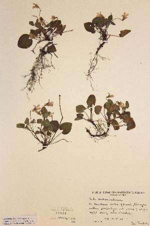 (Viola reichenbachiana - H573180)  @11 [ ] Unspecified (default): All Rights Reserved  Unspecified Unspecified