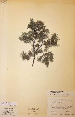 (Juniperus communis subsp. communis - H587135)  @11 [ ] Unspecified (default): All Rights Reserved  Unspecified Unspecified