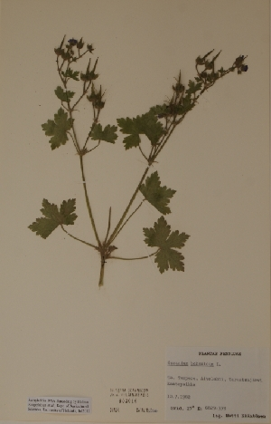 (Geranium bohemicum - H603016)  @11 [ ] Unspecified (default): All Rights Reserved  Unspecified Unspecified