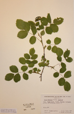 (Rosa dumalis subsp dumalis - H623569)  @11 [ ] Unspecified (default): All Rights Reserved  Unspecified Unspecified