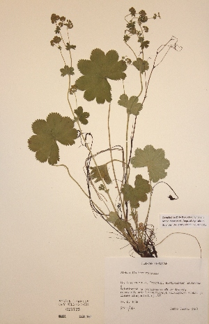 (Alchemilla hirsuticaulis - H625725)  @11 [ ] Unspecified (default): All Rights Reserved  Unspecified Unspecified