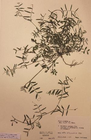 (Vicia sativa subsp. nigra - H628859)  @11 [ ] Unspecified (default): All Rights Reserved  Unspecified Unspecified