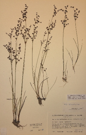 (Juncus alpinoarticulatus ssp alpinoarticulatus - H647243)  @11 [ ] Unspecified (default): All Rights Reserved  Unspecified Unspecified