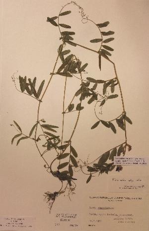 (Vicia sativa ssp sativa - H649506)  @11 [ ] Unspecified (default): All Rights Reserved  Unspecified Unspecified