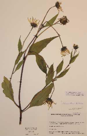 (Helianthus tuberosus - H667848)  @11 [ ] Unspecified (default): All Rights Reserved  Unspecified Unspecified