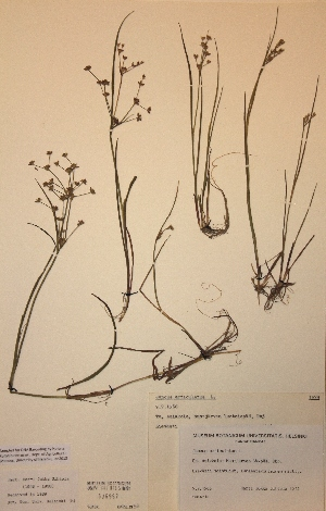 (Juncus articulatus - H676967)  @11 [ ] Unspecified (default): All Rights Reserved  Unspecified Unspecified