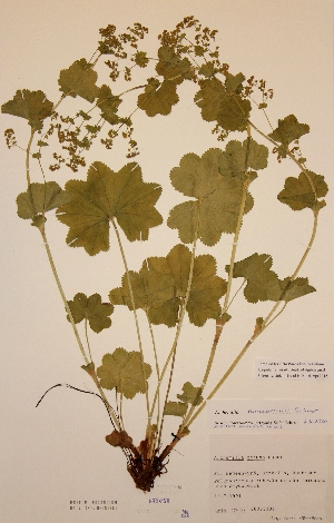(Alchemilla obtusa - H679458)  @11 [ ] Unspecified (default): All Rights Reserved  Unspecified Unspecified