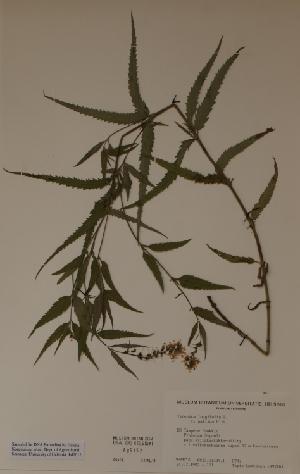 (Veronica longifolia - H685152)  @11 [ ] Unspecified (default): All Rights Reserved  Unspecified Unspecified