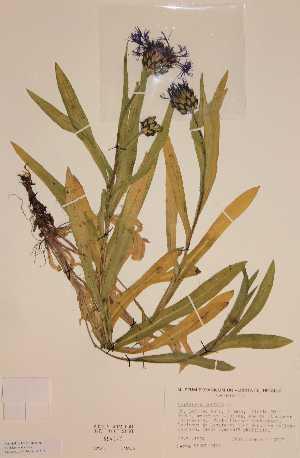 (Centaurea montana - H694977)  @11 [ ] Unspecified (default): All Rights Reserved  Unspecified Unspecified