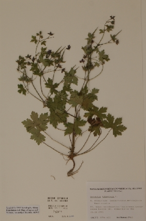 (Geranium bohemicum - H712077)  @11 [ ] Unspecified (default): All Rights Reserved  Unspecified Unspecified