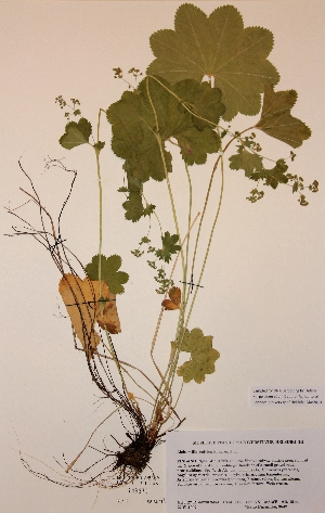 (Alchemilla baltica - H719279)  @11 [ ] Unspecified (default): All Rights Reserved  Unspecified Unspecified