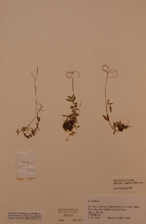(Epilobium anagallidifolium - H720026)  @11 [ ] Unspecified (default): All Rights Reserved  Unspecified Unspecified