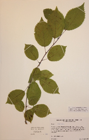(Prunus cerasus - H729045)  @11 [ ] Unspecified (default): All Rights Reserved  Unspecified Unspecified