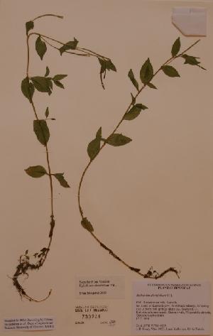 (Epilobium alsinifolium - H730749)  @11 [ ] Unspecified (default): All Rights Reserved  Unspecified Unspecified