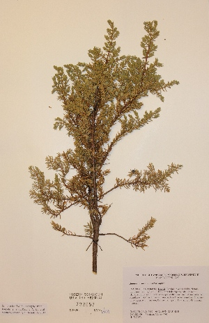 (Juniperus communis subsp. alpina - H732657)  @11 [ ] Unspecified (default): All Rights Reserved  Unspecified Unspecified