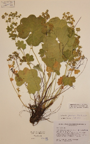 (Alchemilla propinqua - H733568)  @11 [ ] Unspecified (default): All Rights Reserved  Unspecified Unspecified