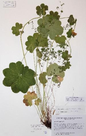 (Alchemilla cymatophylla - H733588)  @11 [ ] Unspecified (default): All Rights Reserved  Unspecified Unspecified