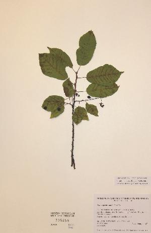 (Prunus padus ssp borealis - H735459)  @11 [ ] Unspecified (default): All Rights Reserved  Unspecified Unspecified