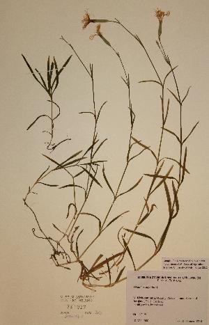 (Dianthus superbus - H741027)  @11 [ ] Unspecified (default): All Rights Reserved  Unspecified Unspecified