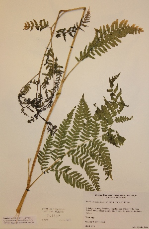(Pteridium aquilinum subsp aquilinum - H741537)  @11 [ ] Unspecified (default): All Rights Reserved  Unspecified Unspecified