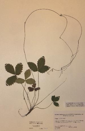 (Fragaria vesca x viridis - H746059)  @11 [ ] Unspecified (default): All Rights Reserved  Unspecified Unspecified