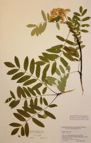 (Sorbus aucuparia subs.aucuparia - H747143)  @11 [ ] Unspecified (default): All Rights Reserved  Unspecified Unspecified