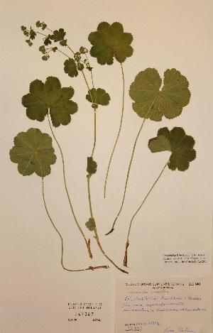 (Alchemilla sarmatica - H747667)  @11 [ ] Unspecified (default): All Rights Reserved  Unspecified Unspecified