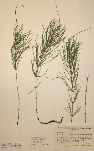 (Equisetum x litorale - H748654)  @11 [ ] Unspecified (default): All Rights Reserved  Unspecified Unspecified