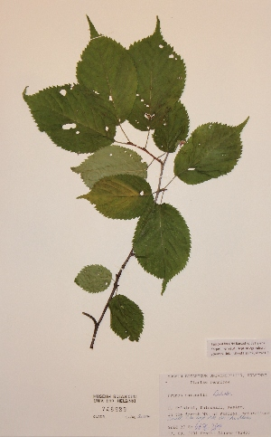 (Prunus sargentii - H748989)  @11 [ ] Unspecified (default): All Rights Reserved  Unspecified Unspecified