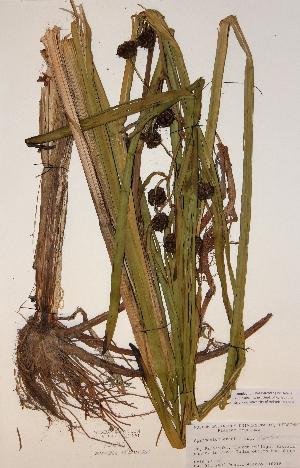 (Sparganium erectum ssp erectum - H749701)  @11 [ ] Unspecified (default): All Rights Reserved  Unspecified Unspecified