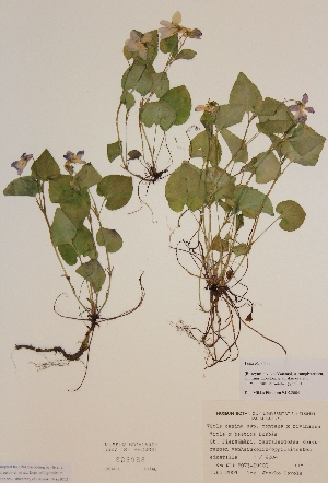 (Viola riviniana - H805988)  @11 [ ] Unspecified (default): All Rights Reserved  Unspecified Unspecified